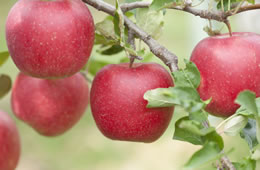 信州牛の肥育に用いられるりんご